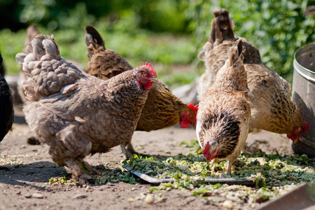 chickens are very protein rich