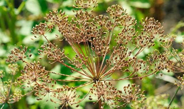 fennl seed