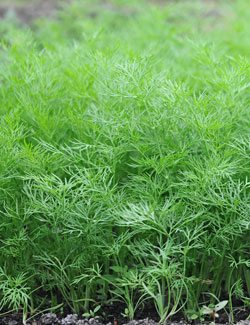 Dill is high in magnesium