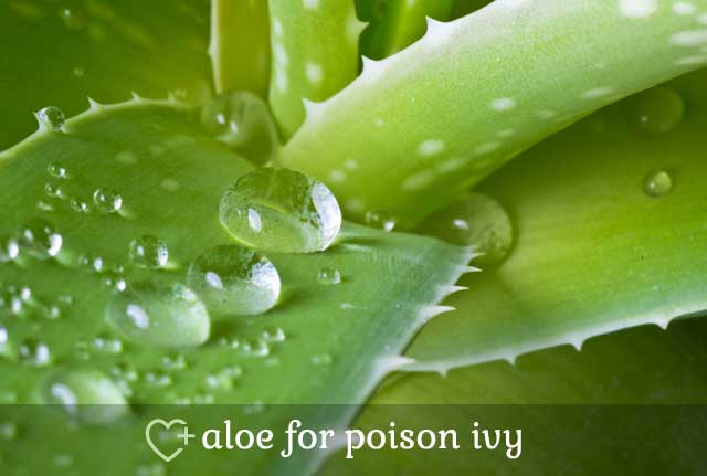 Aloe for Poison Ivy