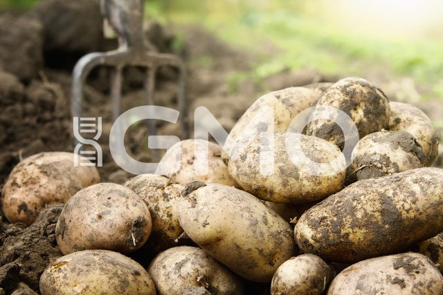 Potatoes are commonly genetically modified foods