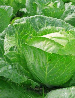 Protein Rich Cabbage