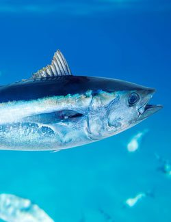 Image result for tuna fish for vitamin D