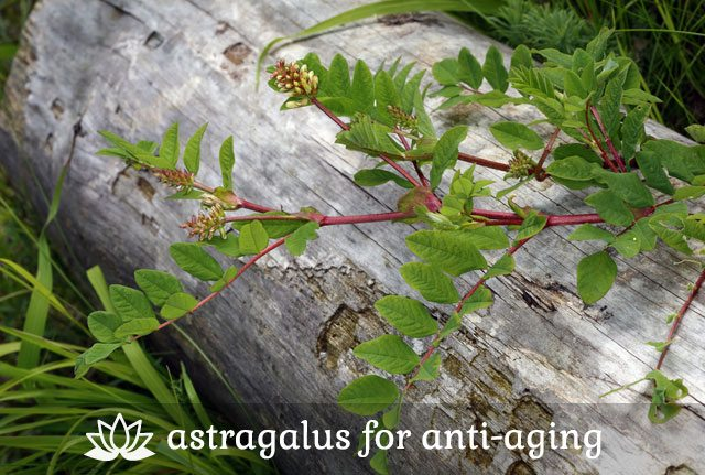 Astragalus for Anti-Aging