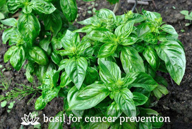 Basil for Cancer Prevention