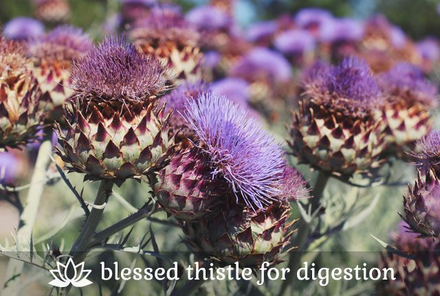 Blessed Thistle for Digestion