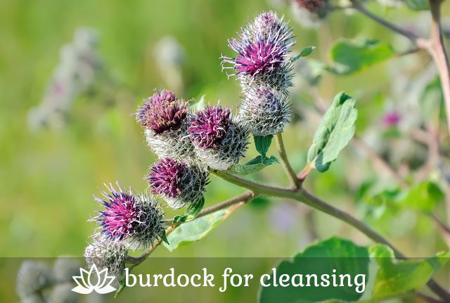 Burdock for Cleansing