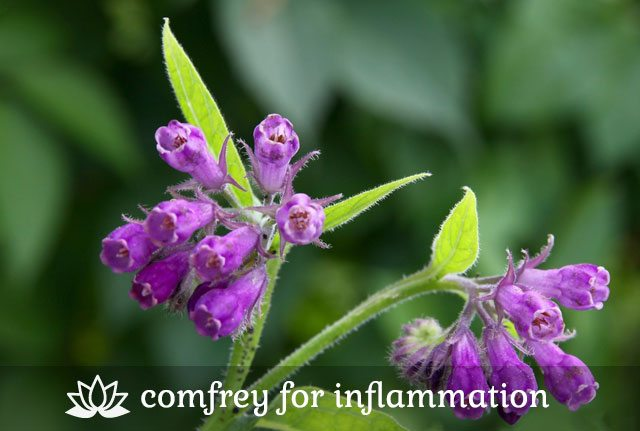 Comfrey for Inflammation