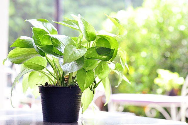 devil's ivy indoor plant