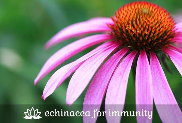 Echinacea for Immunity