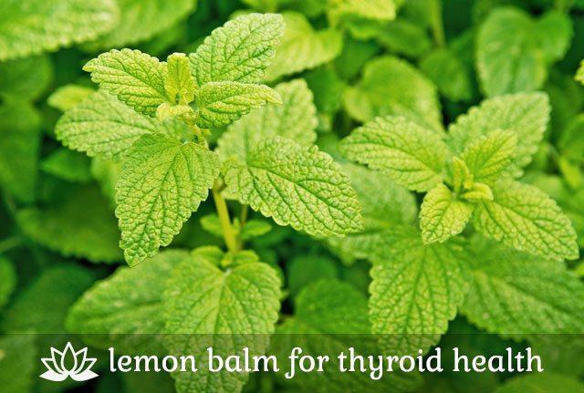 Lemon Balm for Thyroid Health