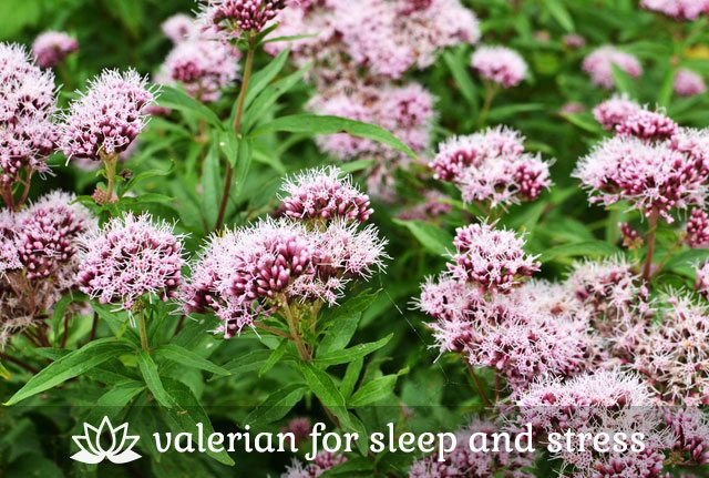 Medicinal Valerian Plant for Sleep and Stress