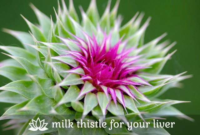 Milk Thistle for Your Lover
