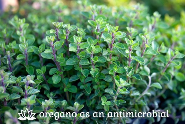 Oregano for Antimicrobial