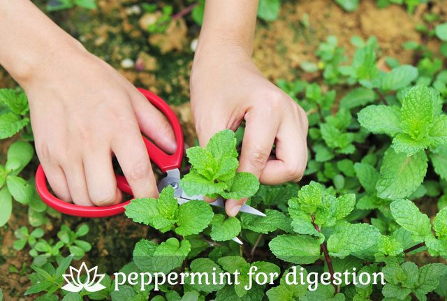 Peppermint for Digestion