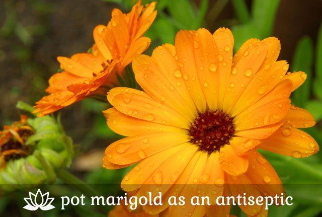 Pot Marigold as an Antiseptic