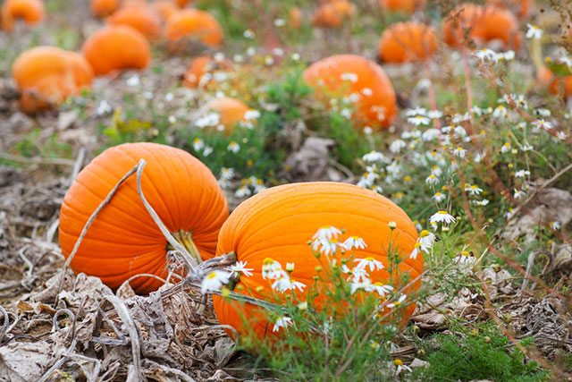 Pumpkin Helps You Lose Weight
