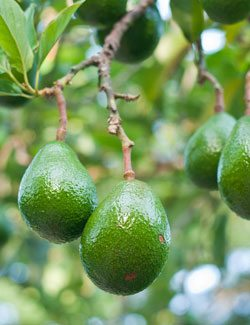 avocado are high in potassium