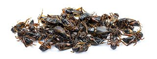 fat burning insects