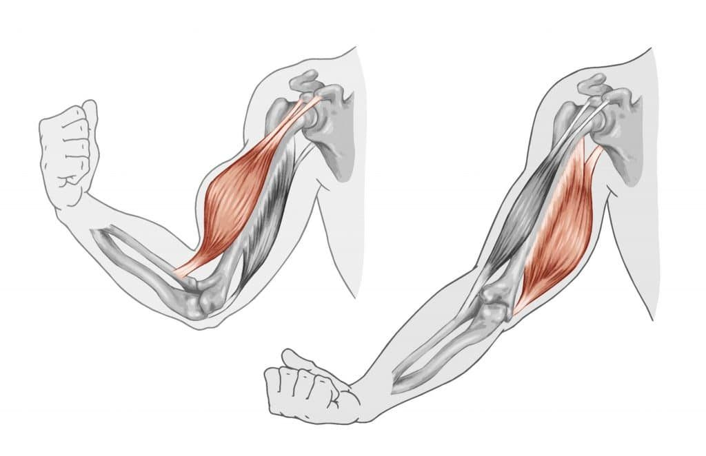 Muscles and fascia