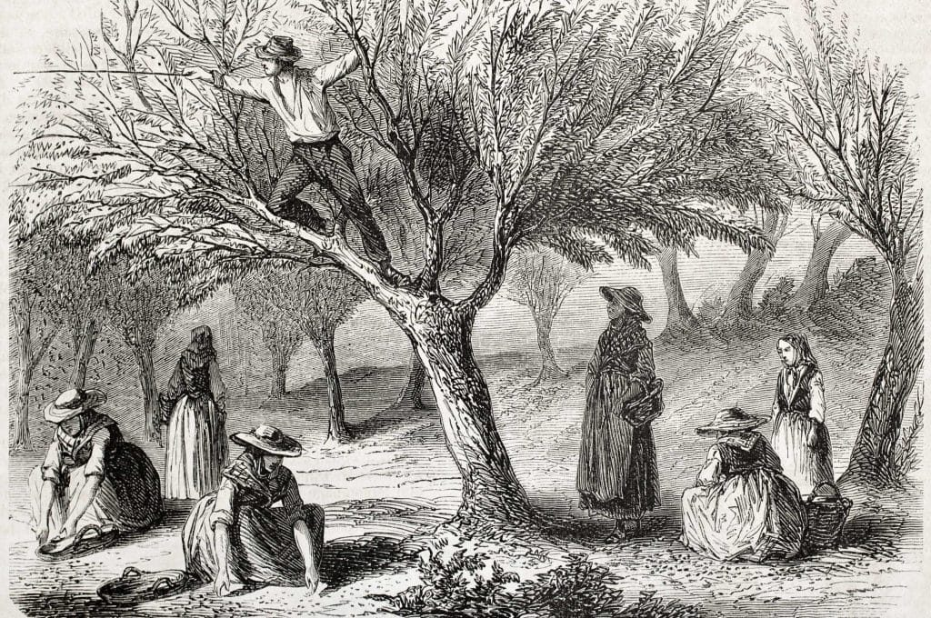 olive harvest