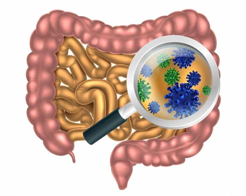 gut bacteria