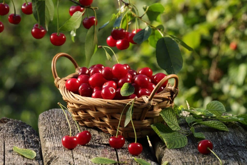Collecting cherries